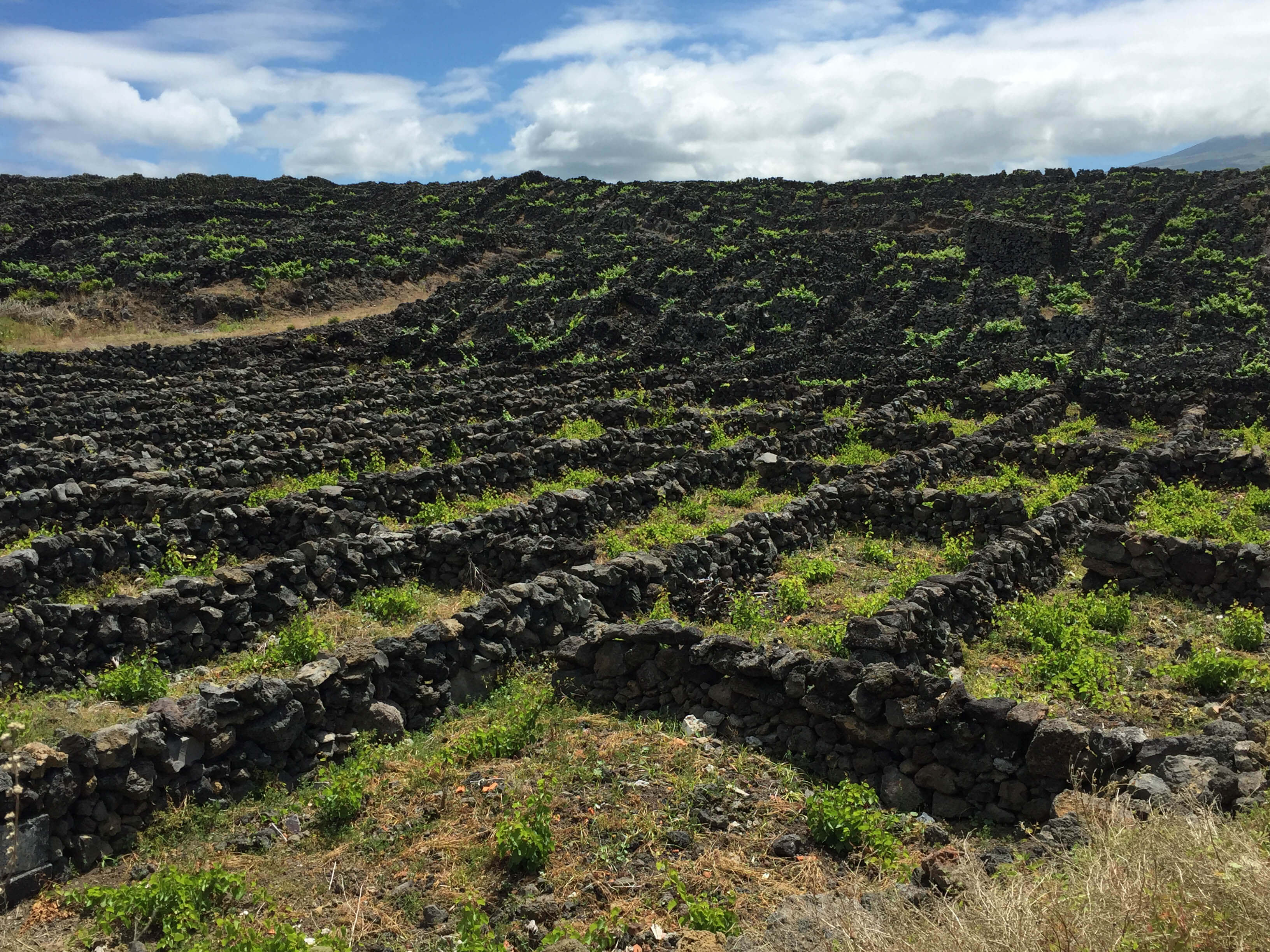 Pico Island vineyards, Azores